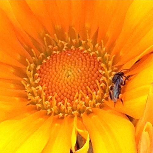 Native stingless bee